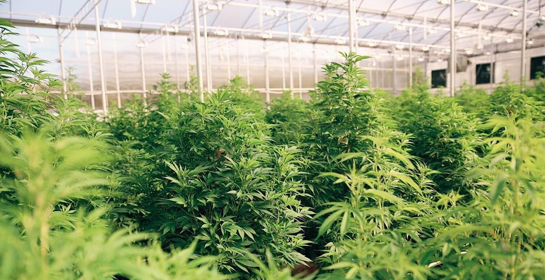 Local medical marijuana producer expresses frustration with BC's cannabis plans