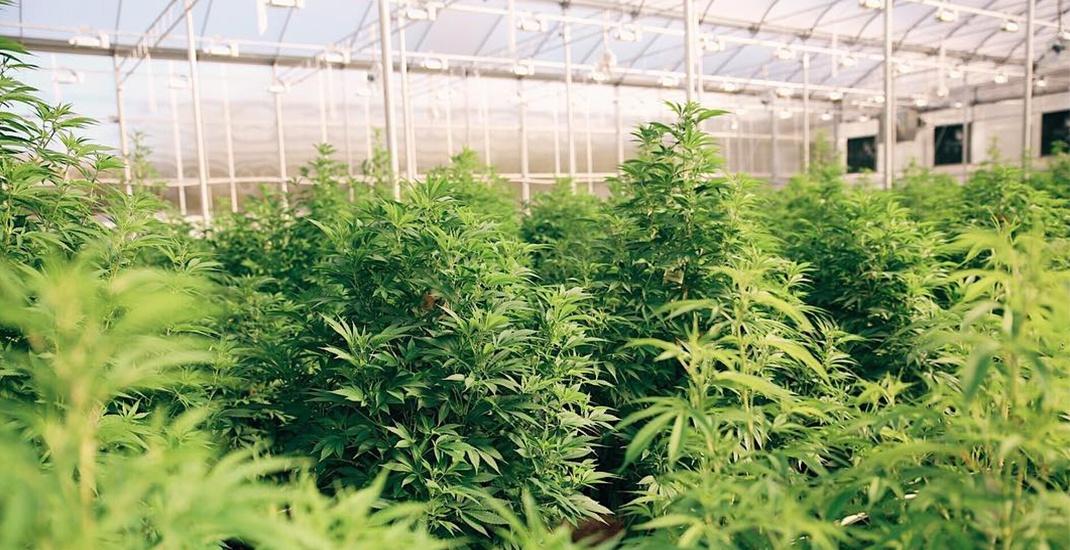 Tantalus labs cannabis