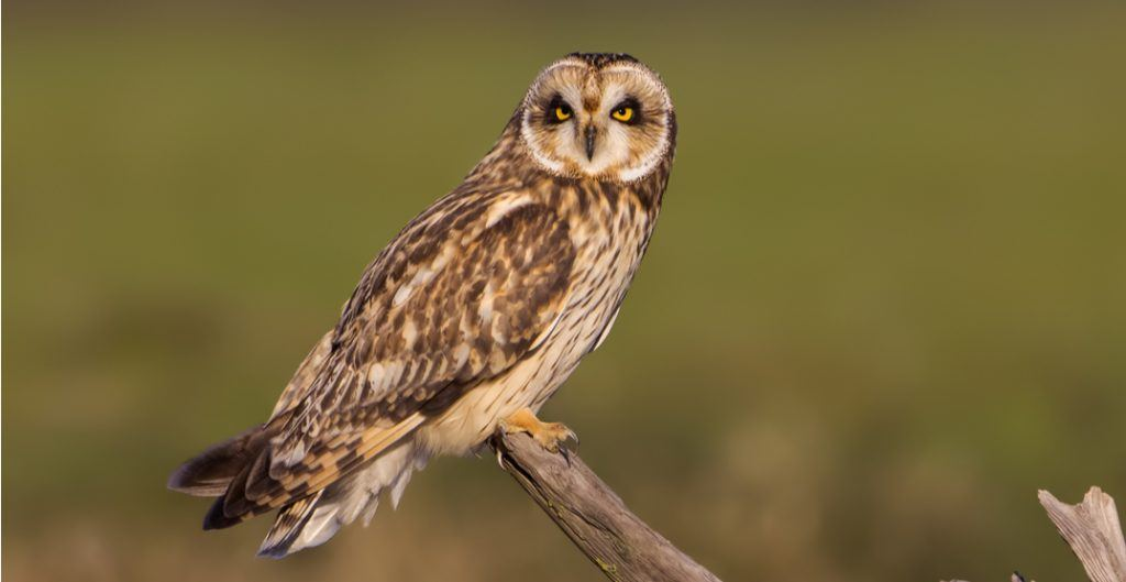 Delta owl