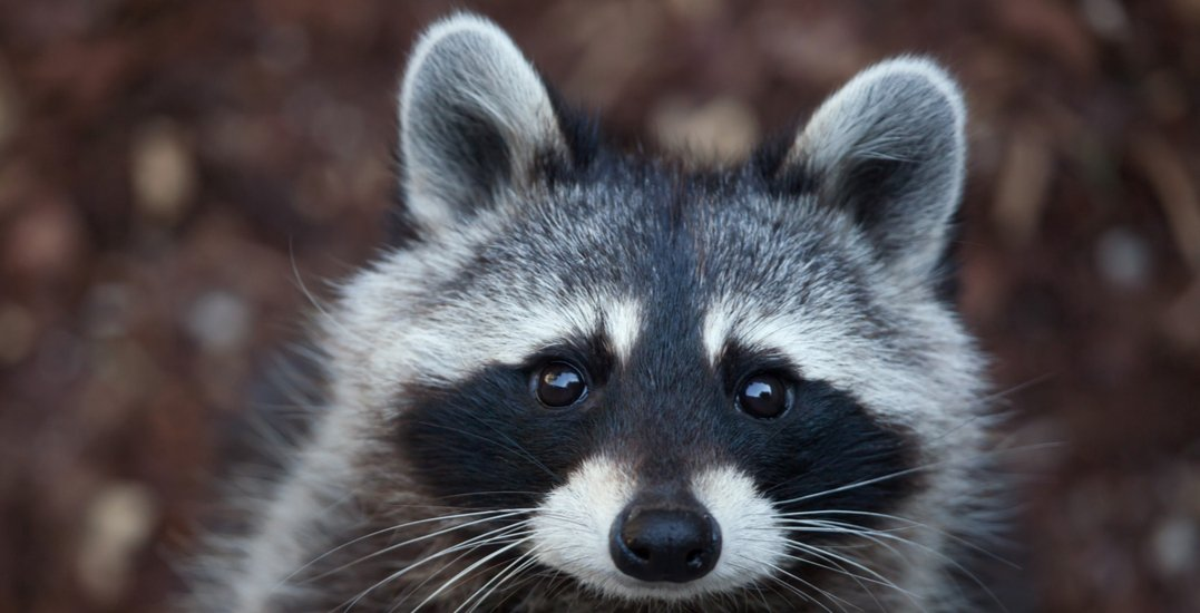 Raccoon euthanized after found 'tortured' in leg trap, $1,000 reward offered