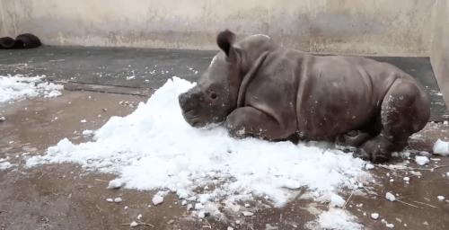 Baby Rhino Snow