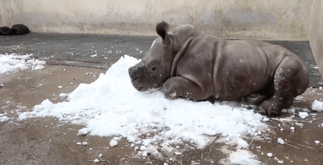 Toronto Zoo's baby rhino playing in snow is the cutest thing you'll see today (VIDEO)