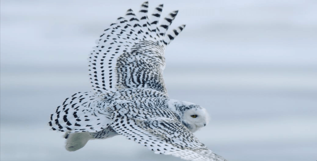 Beautiful snowy owls spotted in Toronto park (PHOTOS)