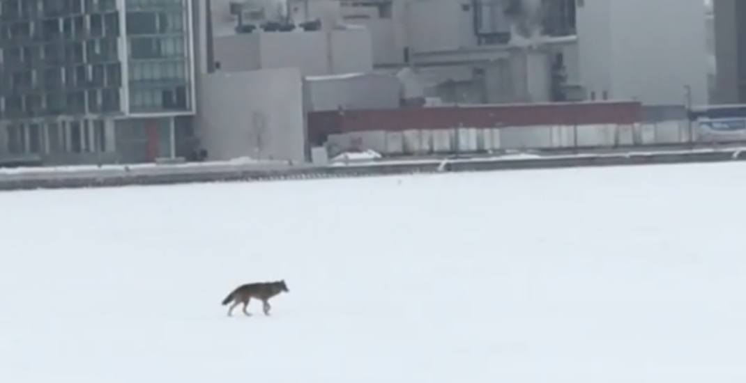 Lone coyote spotted crossing frozen Toronto harbour (VIDEO)