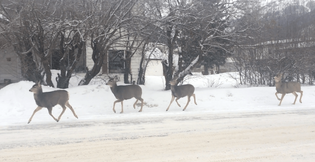 Deer spotted obeying stop sign is the most Canadian thing you'll see today (VIDEO)