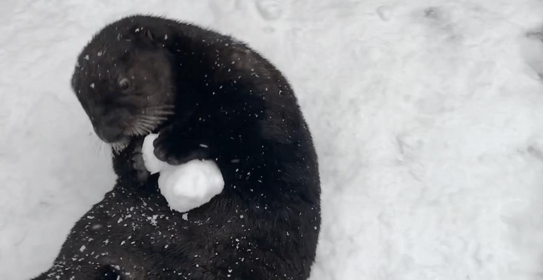Sea otters have a 'snow ball' at Vancouver Aquarium (VIDEO)