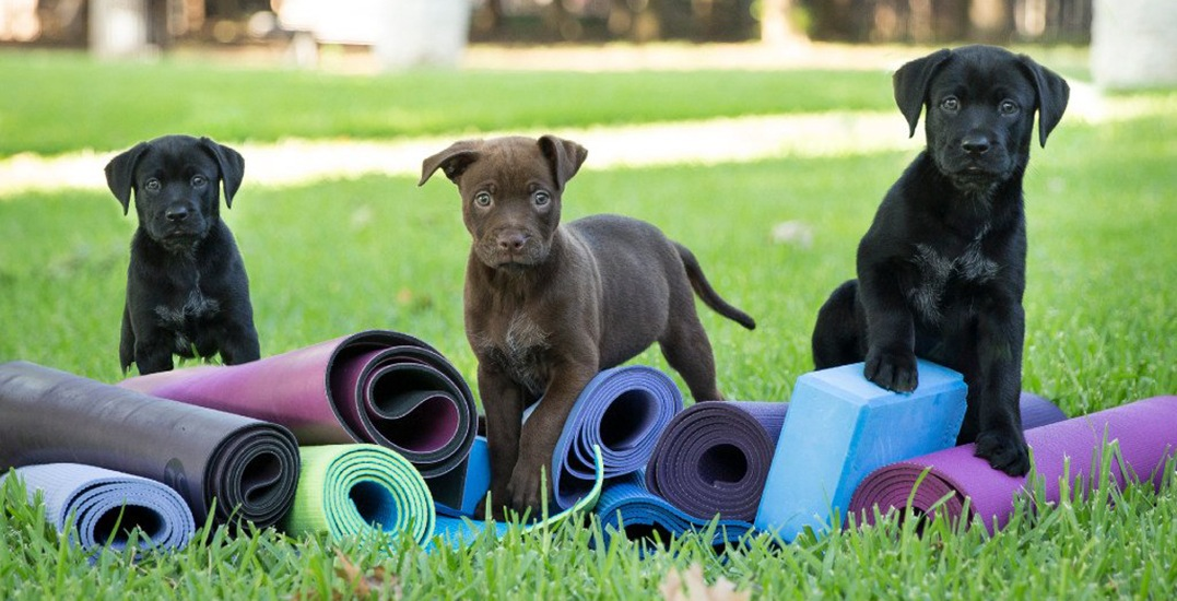 Puppy Yoga is coming to Toronto this Spring