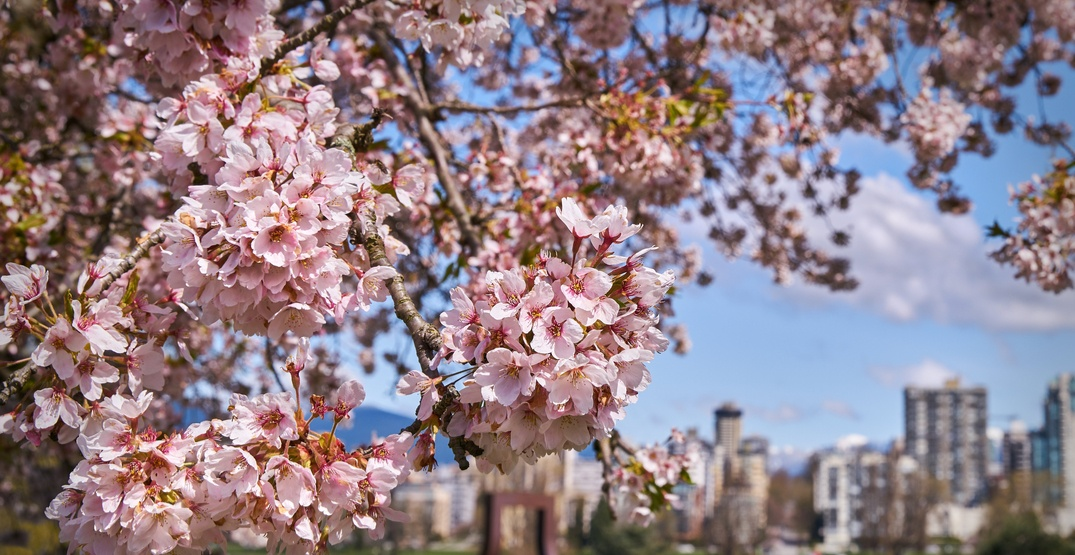 Vancouver's annual Cherry Blossom Festival announces dates for Spring 2019