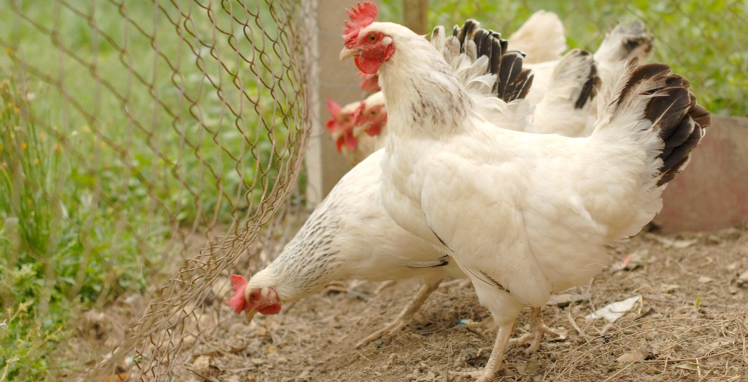 Residents in four wards can now keep hens in their backyards in Toronto