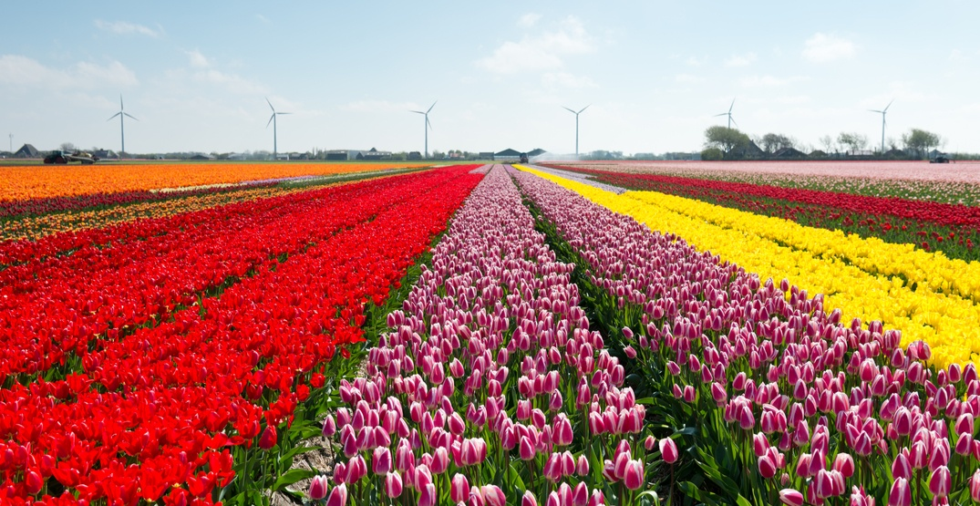 A massive tulip festival is happening near Montreal this spring