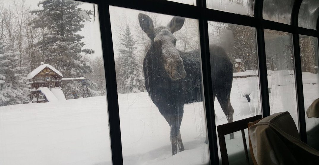 Canadian woman casually chats with moose about recent snowfall (VIDEO)