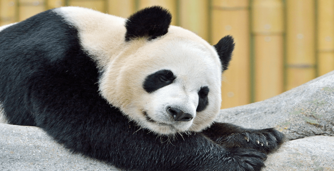 The giant pandas at the Toronto Zoo are leaving next weekend