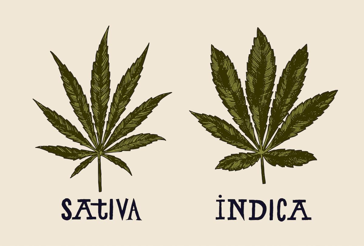 sativa indica cannabis