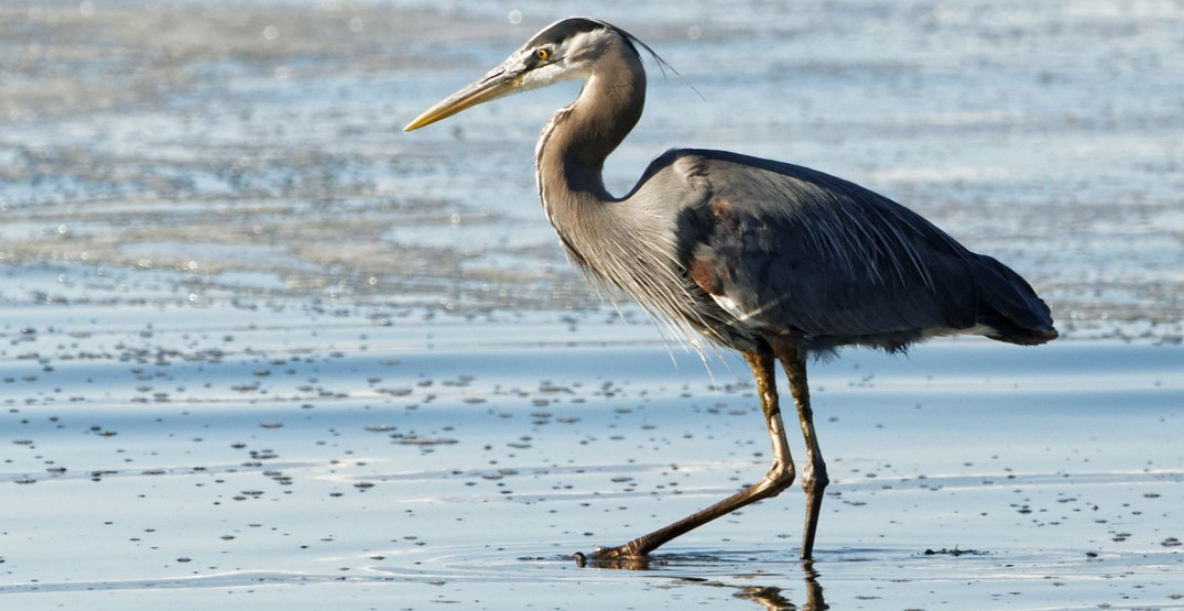 Vancouver now live-streaming Pacific Great Blue heron colony in Stanley Park