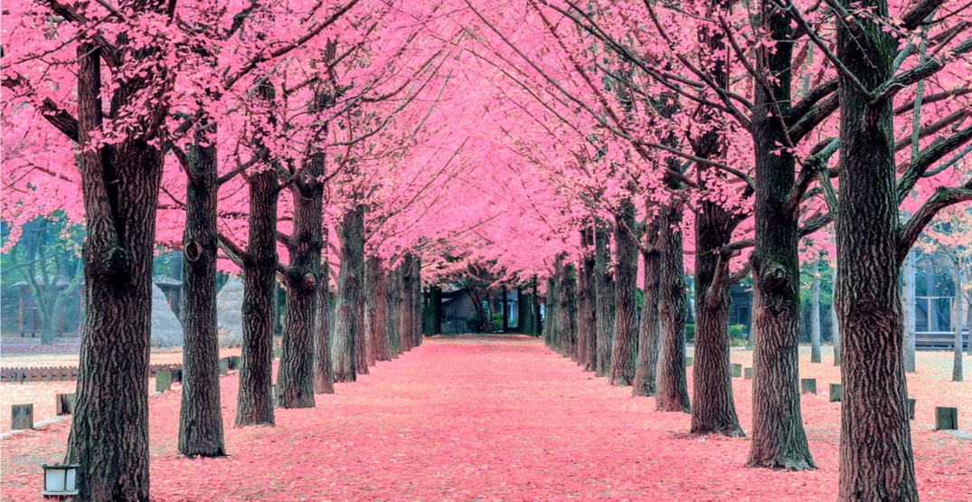 The Beaches is planning a new cherry blossom festival for this spring