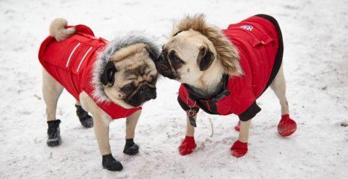 pug meet-up