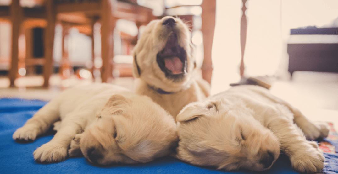 YVR announces winners in puppy-naming contest