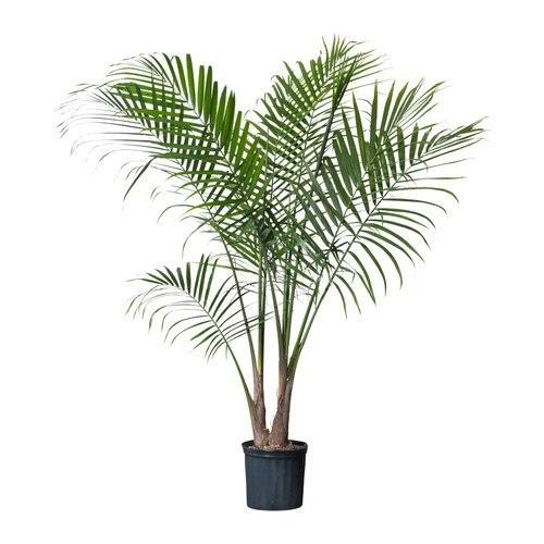 Majesty Palm / IKEA