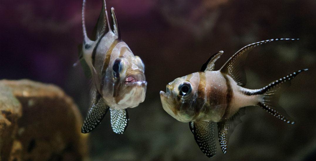 Banggai cardinalfishvancouver aquarium after hours
