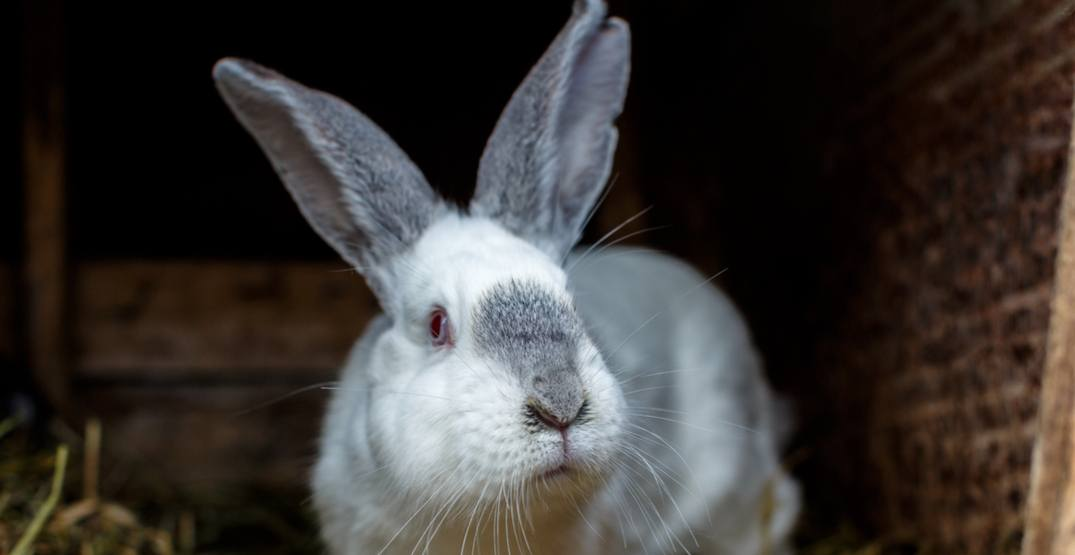 Discovery of 'lethal' virus prompts warning to rabbit owners in BC