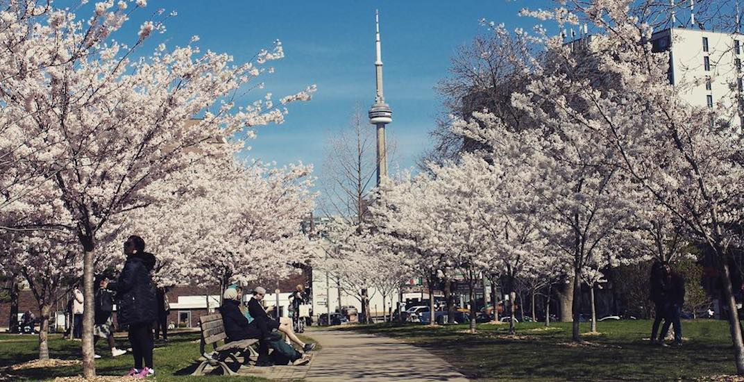 Update: Cold weather could slow down arrival of cherry blossoms in Toronto