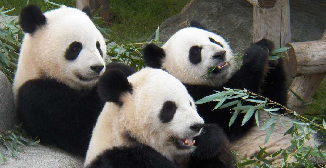 Giant pandas have begun journey from Toronto to the Calgary Zoo