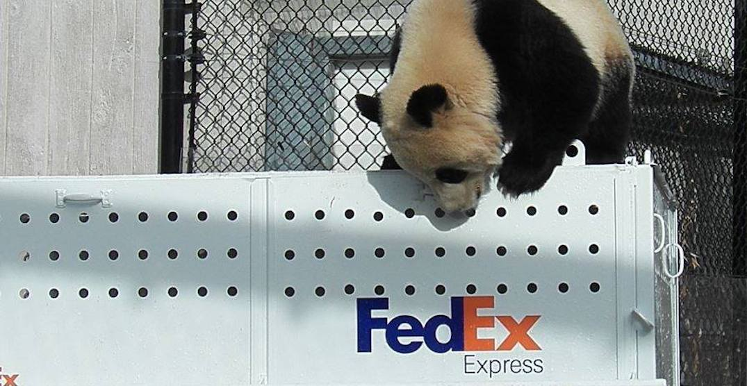 The giant pandas have officially arrived at the Calgary Zoo (VIDEO)