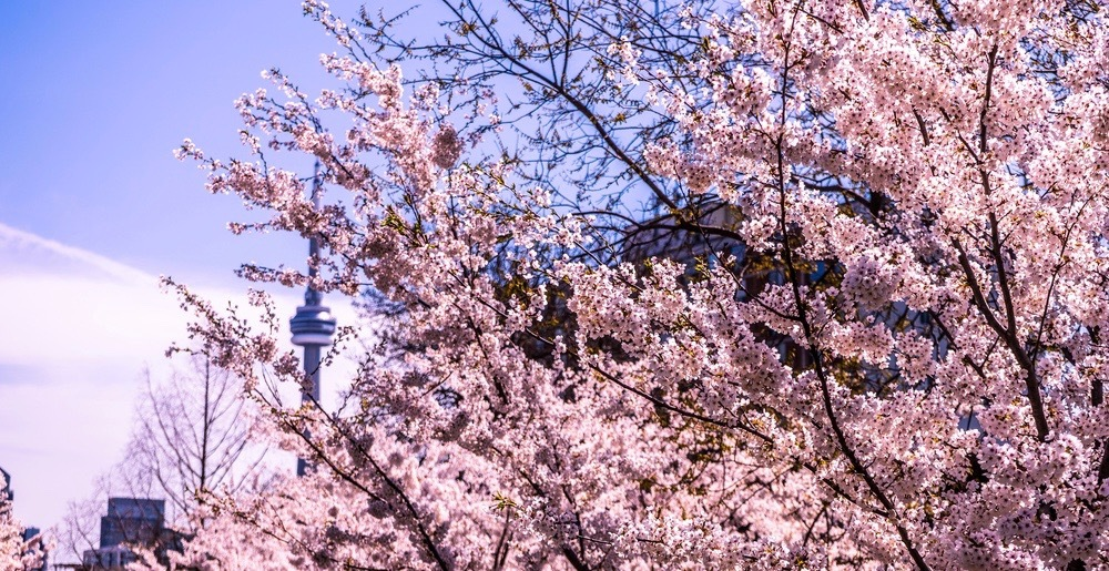 Everywhere you can see cherry blossoms in Toronto this spring (MAP)