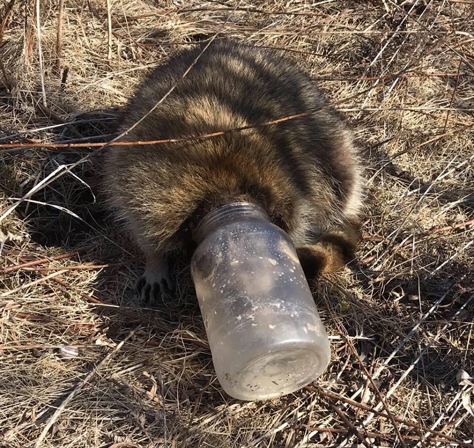 toronto racoon