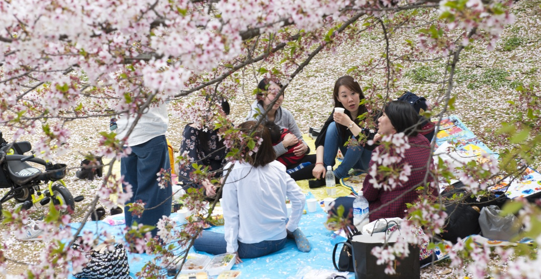 Be part of 'The Big Picnic' during Vancouver's Cherry Blossom Festival