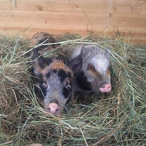 Ellie and Stella. farm sanctuary