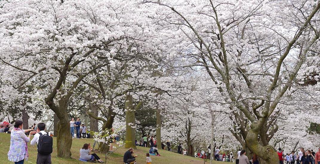 Update: High Park cherry blossoms expected to bloom this weekend