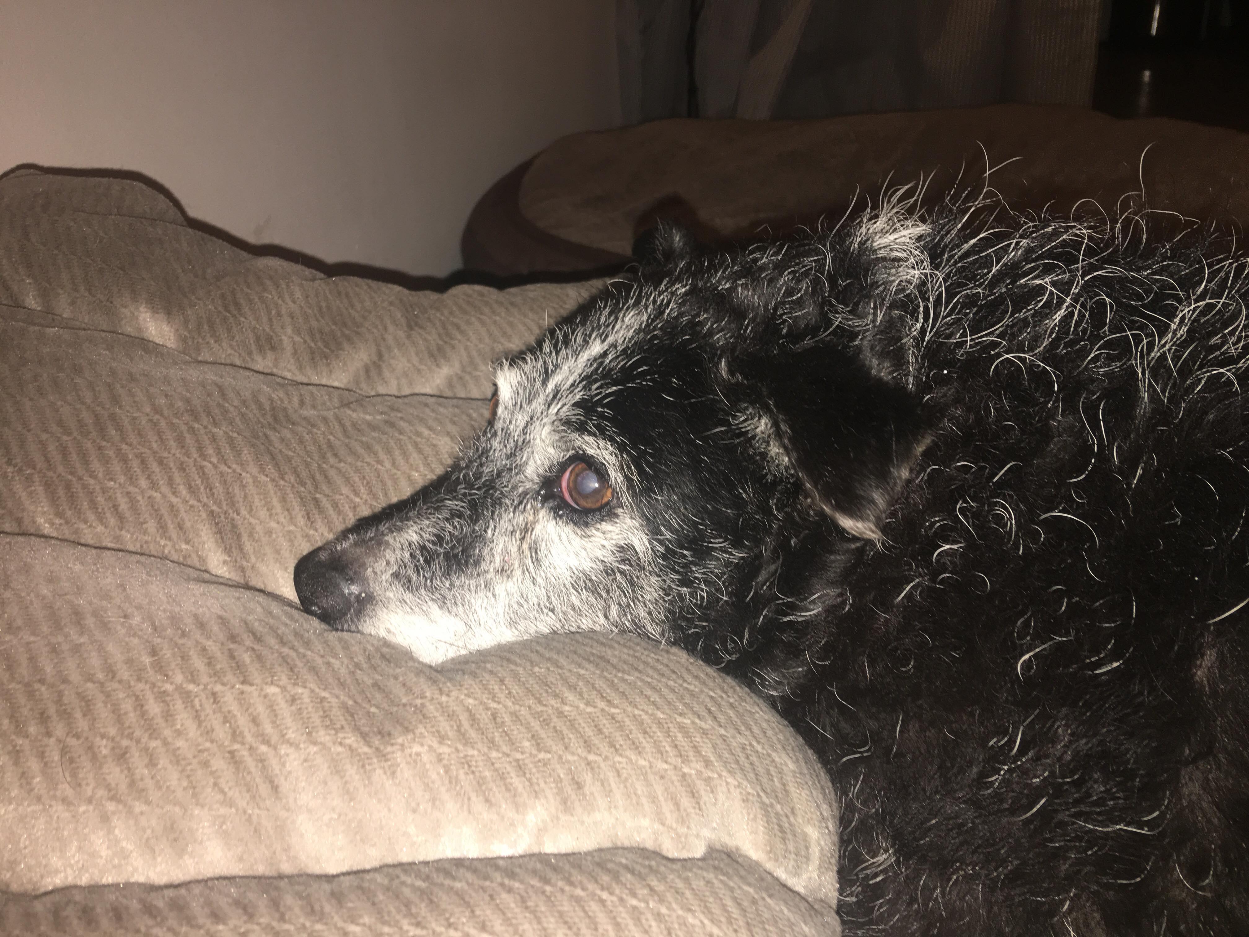 Dolly the obese senior dog.