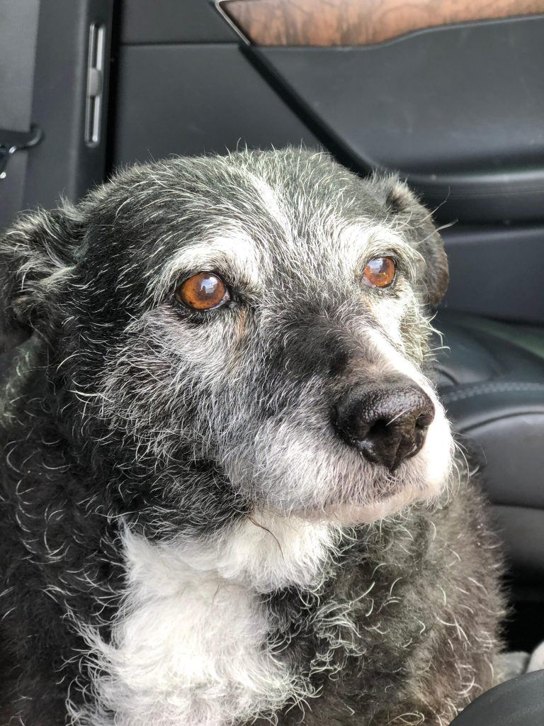 The sweet gray muzzle of senior Dolly.