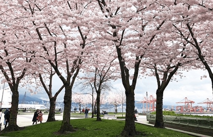 Granville Plaza Cherry Blossoms