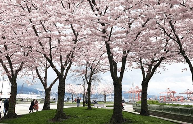 Granville Plaza Cherry Blossoms