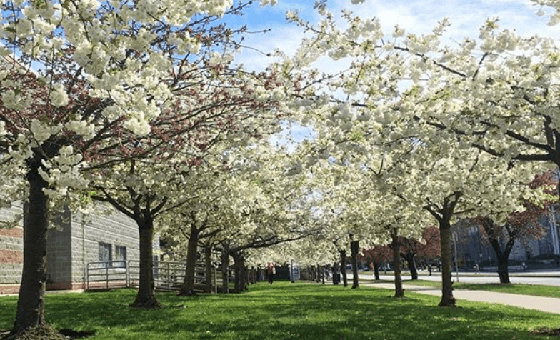 Cherry blossoms regent college UBC