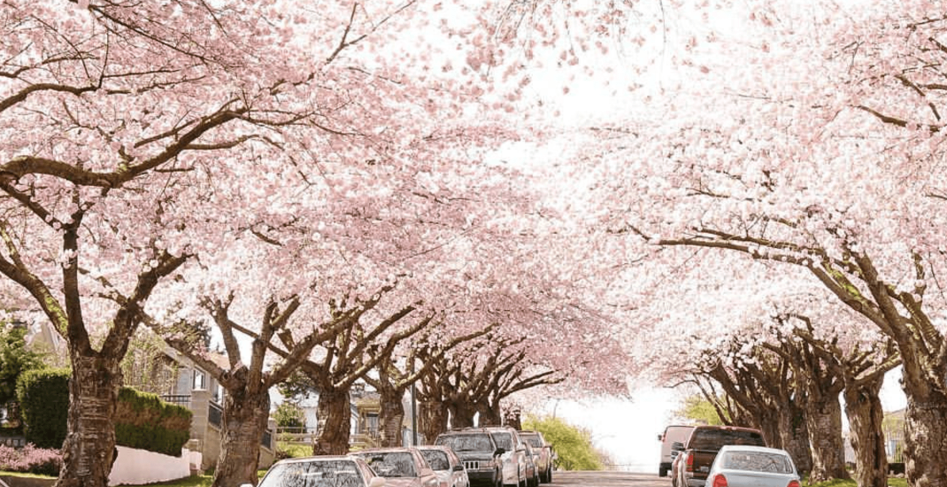 Where to see beautiful cherry blossoms in Vancouver (MAP/PHOTOS)