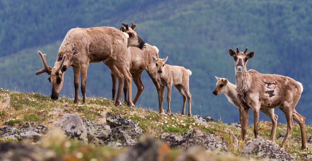 caribou population funding