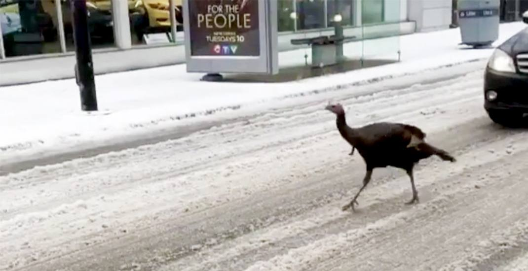 Wild turkey holds up traffic as it runs through Toronto streets (VIDEO)
