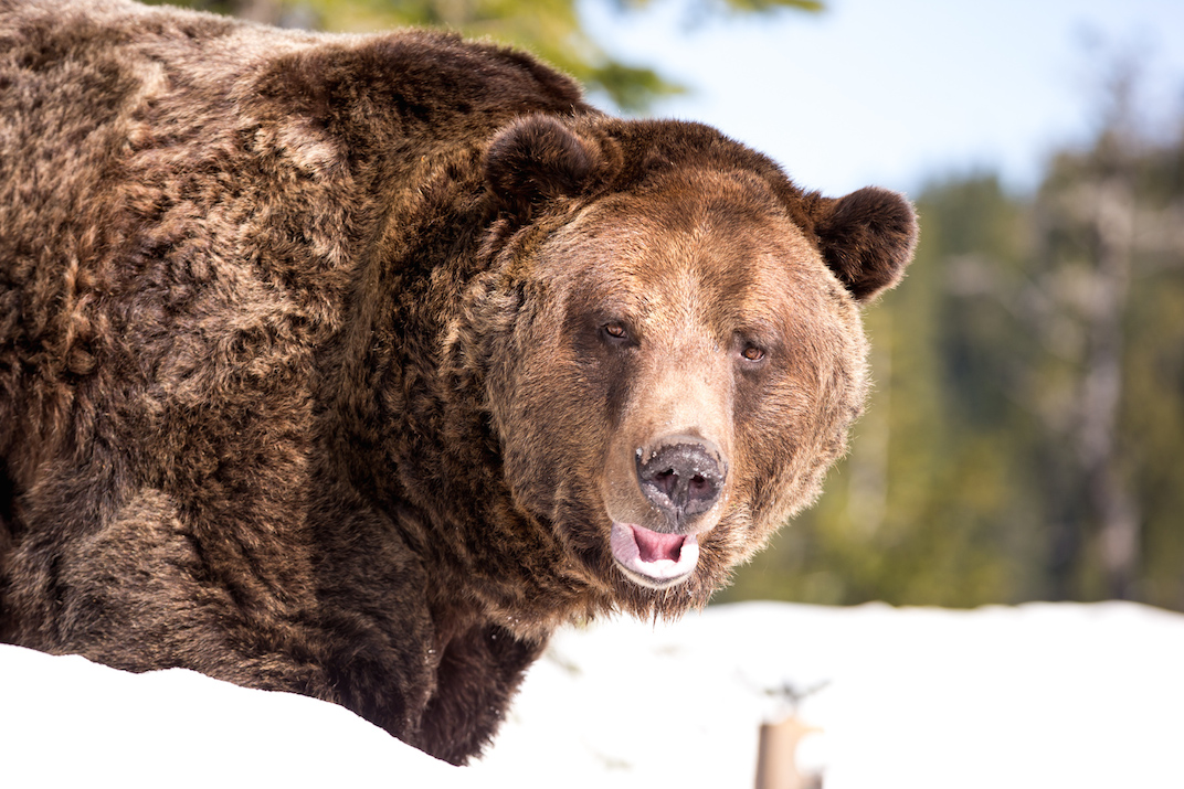 Grouse Mountain Grizzly Bears