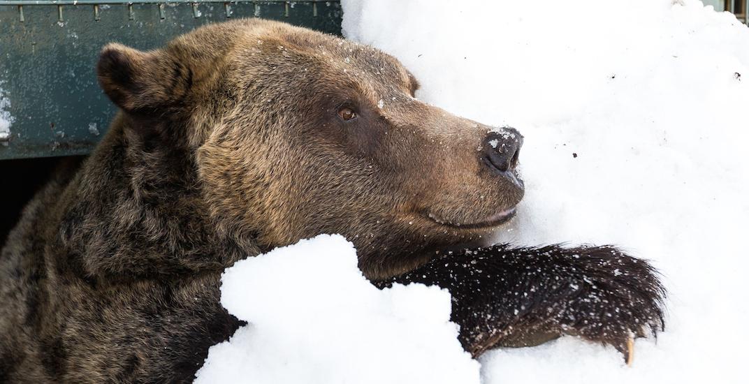 Grouse mountain grizzly bear hibernation 2018 14