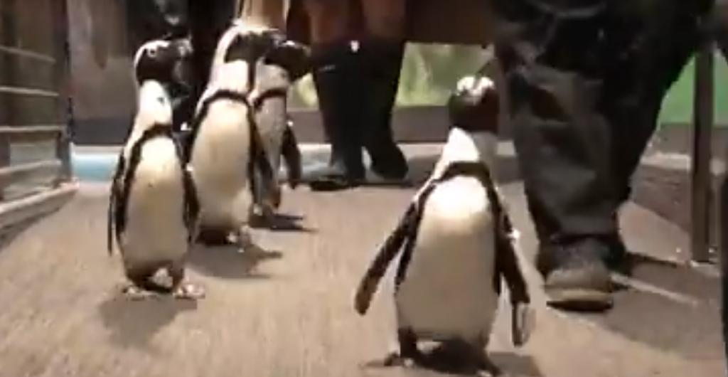 Vancouver Aquarium penguins