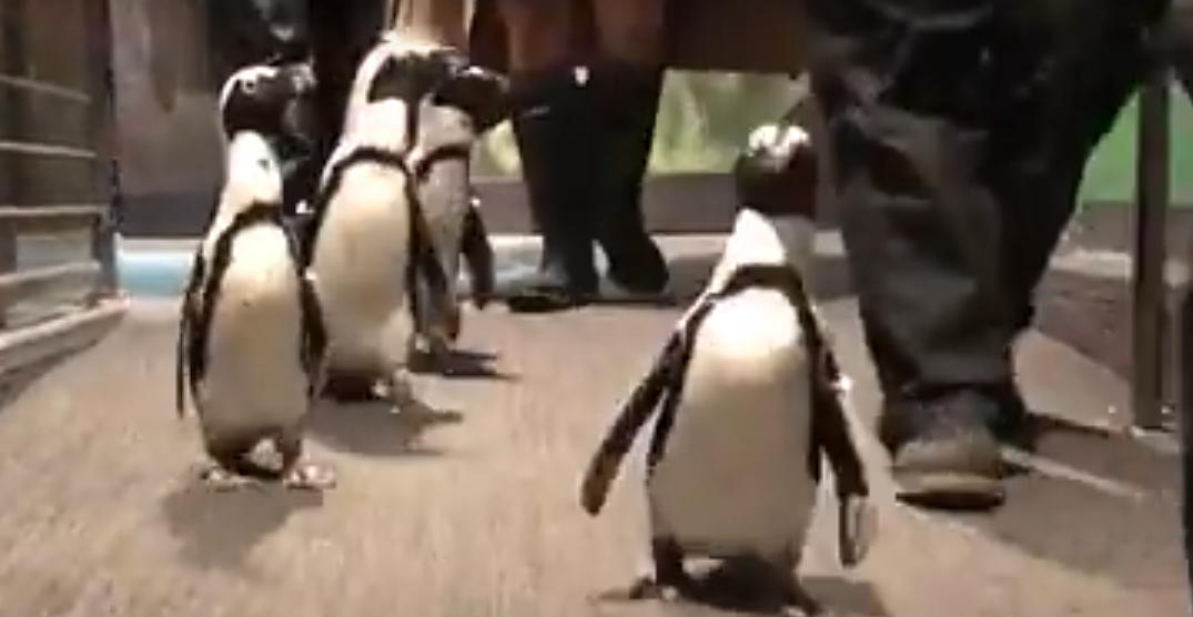 Penguins 'march' through Vancouver Aquarium and it's the cutest thing ever (VIDEO)
