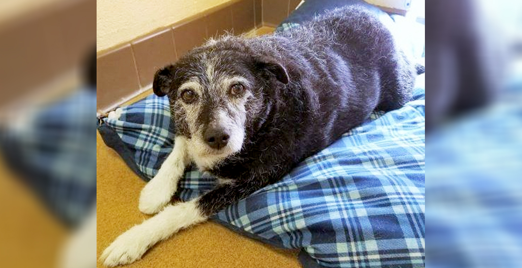 Senior dog dumped at shelter for being too fat