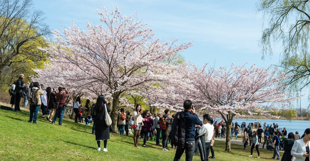 Cherry blossom madness is so real Toronto police have issued a traffic warning