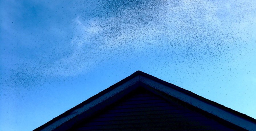 Swarms of midges have invaded Toronto (again)
