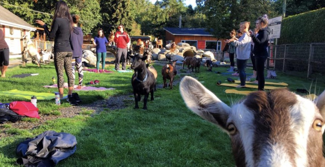 You can do yoga with goats in North Vancouver this summer