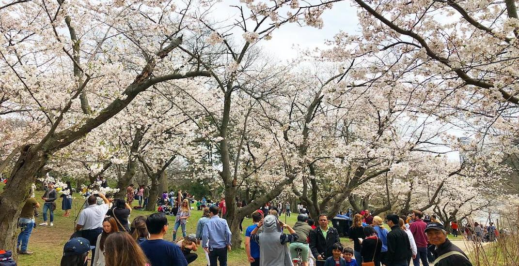 20 dreamy shots of the High Park cherry blossoms this weekend (PHOTOS)