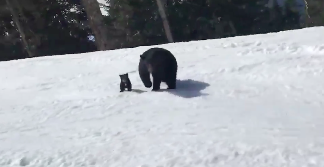 Whistler skier has shockingly close encounter with bear and cub (VIDEO)